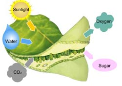 photosynthesis takes place in presence of carbondioxide, water and sunlight giving out oxygen and sugar